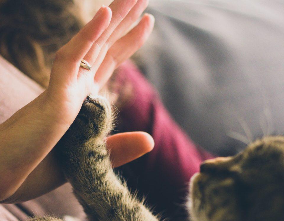 Gato dando palmanda a un Veterinario en Taco Canarisa